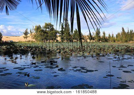 Beautiful Lotus lake near Mui Ne place Vietnam