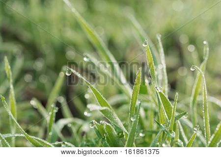 fresh spring grass covered with morning dew