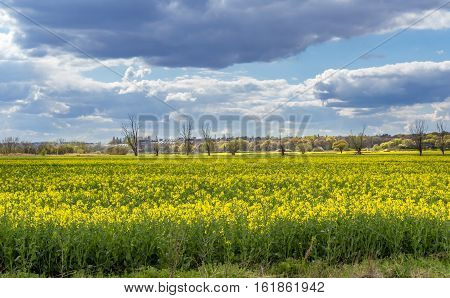 Vivid yellow canola blossom in Spring taken on farmland near the village of Abridge in Essex England.