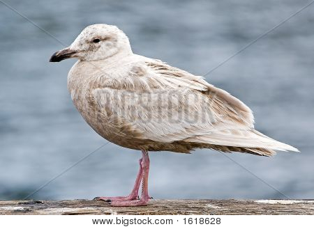 Thayer Gull