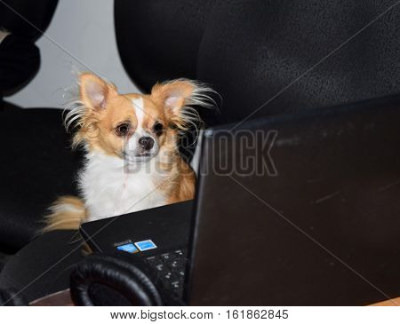 a Chihuahua looks at a computer screen