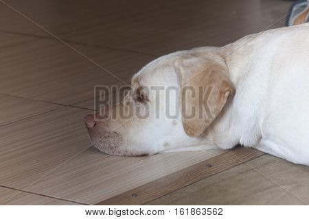 Large white dog sleeping ,white Labradorsecurity, young, room, sweet, relaxing, face, faithful, cute, best, pedigreed, bed, front,