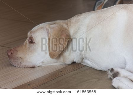 Large white dog sleeping ,white Labradorone, isolated, indoor, lying, obedient, loyalty, loyal, paw, lonely, tranquil, loneliness