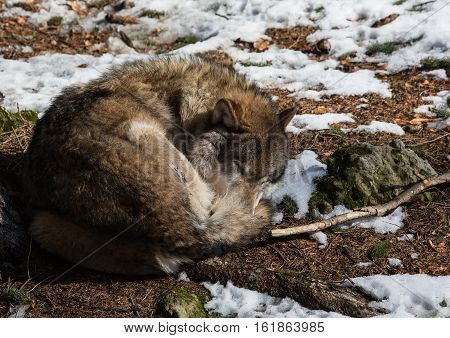 A Wolf (canis Lupus) In Winter In A German Deer Park