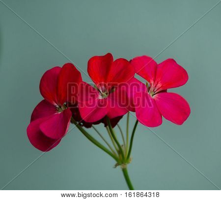 red geranium flowers in the inflorescence close-up on a gray background