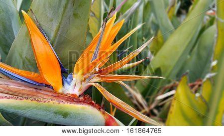 Close up of Beautiful bright Strelitzia Reginae flower (bird of paradise flower)