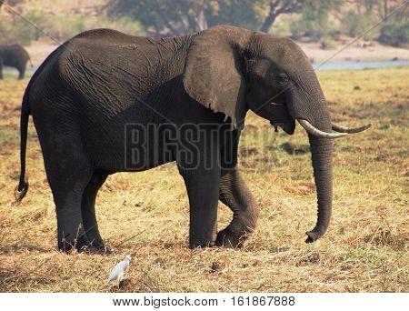 an African elephant graze on the banks of the river Okavango in Botswana