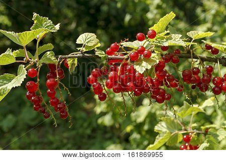 Branch of bright red currants in summer garden