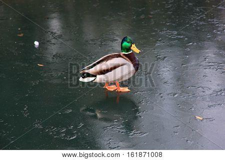 Male Mallard duck (Anus platyrhynchos) or wild duck on a frozen lake