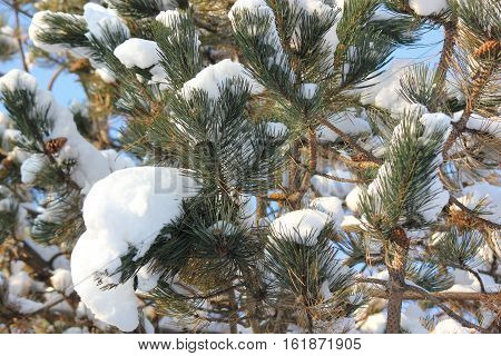 Fresh white snow on pine tree with nice details on pine needles