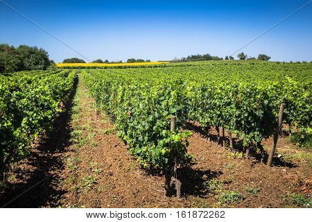 The vineyards along the famous wine route in Alsace France