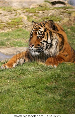 Tiger In Water Hole