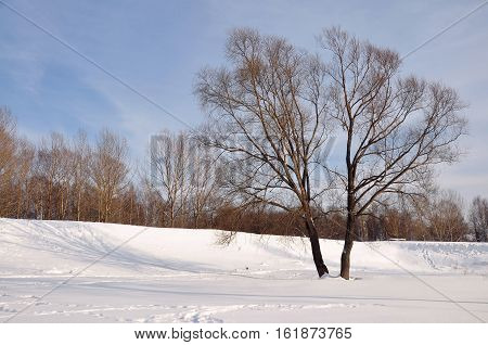 Lonely tree in a city park in the winter.