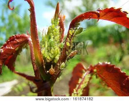 aphid feeds on young shoots of the plant