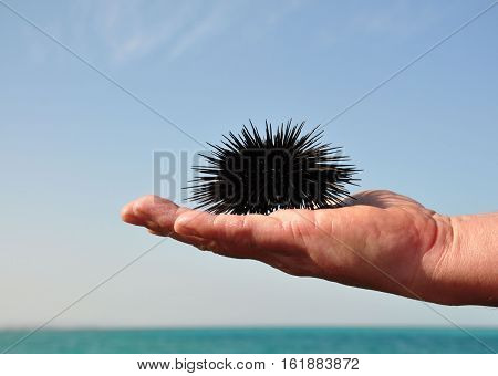 Sea urchin in the palm of a man. Red Sea. Egypt.