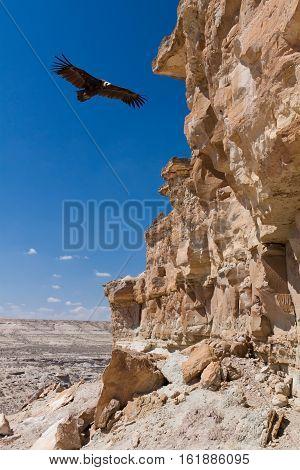Eurasian black vulture (Aegypius monachus) in desert area near Caspian Sea Kazakhstan