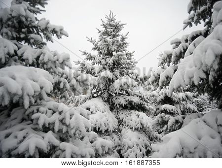 Christmas Trees under Beautiful Snow Cover. Beautiful Winter Landscape