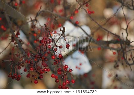 France white snow in background with red crab apples