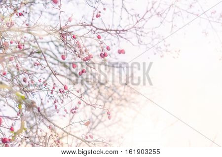 Winter snow covered branches of mountain ash on sky background. Cozy winter nature scene with snow and tree branches. Abstract blurred background. Copy space, Selective focus, toned