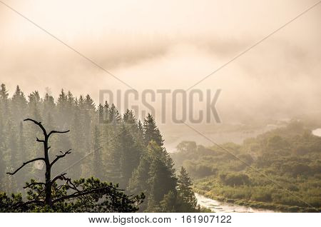 thick morning mist in coniferous forest. thickets of green forest.