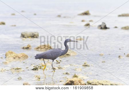 Pacific Reef Egret or Egretta sacra bird in the sea beach