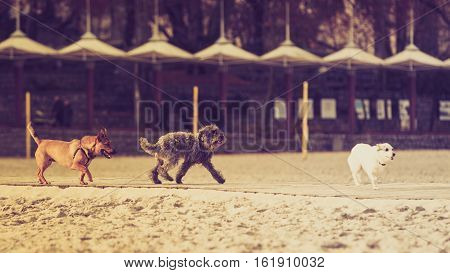 Playful animals pets outside concept. Three mongrel dogs walking together on sandy beach. Outdoor shot on sunny day.