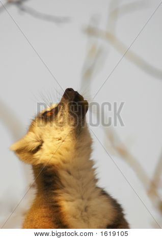 Calling Lemur