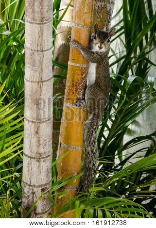 A SQUIRREL HANGING ON TO A PALM TREE STARING AT THE CAMERA