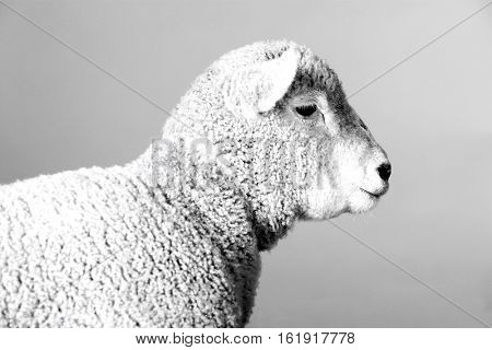Side view of a lamb
