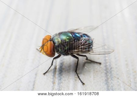 Close up macro of one fly insect