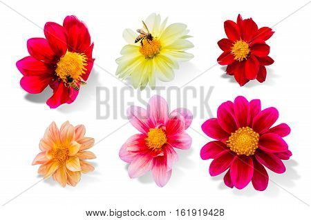 collection of dahlia flower isolated on white background File contains a clipping path.