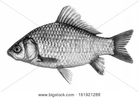 Fish crucian carp isolated black and white side view.