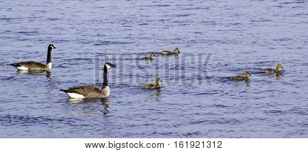 Family of Canada Geese with their goslings swimming in the St. Lawrence River near Cornwall, Ontario, on a sunny day in June, with light clouds.