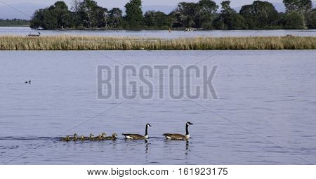 Family of Canada Geese with their goslings swimming in the St. Lawrence River near Cornwall. Ontario. with trees and mountains across the water on a sunny day in June with light clouds.