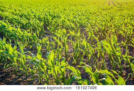 Backlit image of fresh young green silage maize plants with translucent leaves in rows as seen in the low evening sun. It is in the beginning of the Dutch summer season.
