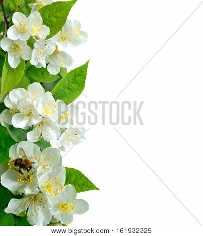 Beautiful Jasmine flowers with bee close up isolated on a white background with copy space for text