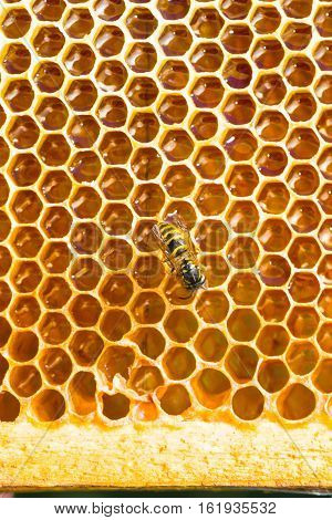 Close-up Texture Of Honeycomb With Honey
