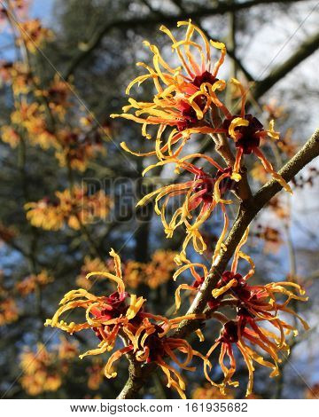 The sunlit flowers of Hamamelis mollis also known as Chinese Witch Hazel, a winter flowering shrub native to China.