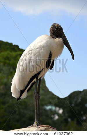 A Wood Stork Latin name Mycteria americana