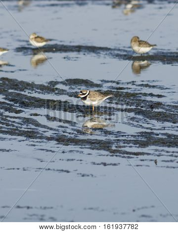 Common ringed plover charadrius hiaticula adult bird at sea shoreline close-up portrait selective focus shallow DOF