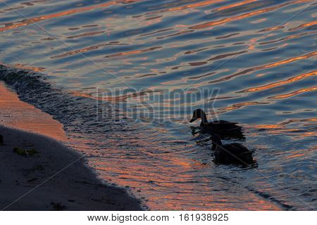 Duck Swimmimg In The Water