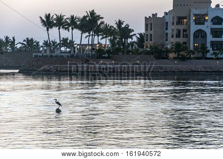 Grey Heron Bird in Sultanate Oman at Souly Bay harbour and Hotels Oceanside