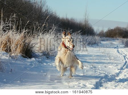 Funny spotty dog walking in winter frozen field