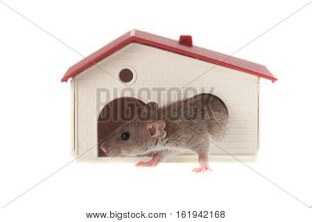 baby rat in a small house isolated on white