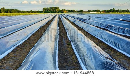 Converging asparagus beds covered with reflecting black plastic film on a sunny evening in the Dutch early summer season. Some asparagus tops touch the plastic film already.