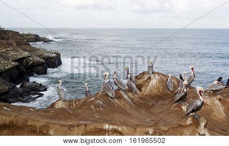Several Pelicans sitting on an ocean shoreline rock cliff