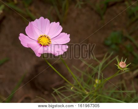 Pink Cosmos In In Garden Close Up