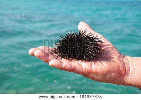 Sea urchin in the palm of a man. Red Sea.