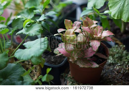 Fittonia Home Plant In Flower Pot Rounded With Home Plants.