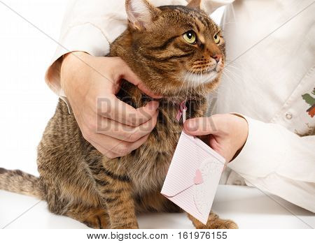 Man hangs pink love letter envelope on neck of beautiful fluffy tabby cat isolated on white background. Close up.